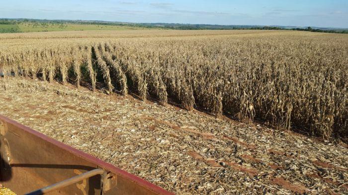 Imagens do dia - Início da colheita do milho safrinha na Estância Teixeira em San Alberto, Paraguai. Envio do produtor Elson Eduardo Teixeira
