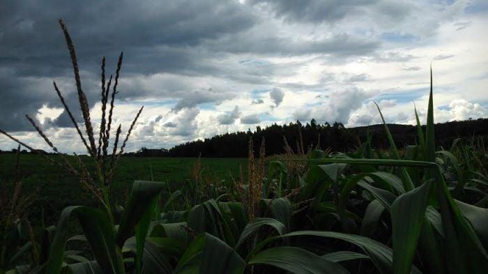Imagem do dia - Foto da plantação de milho, soja e eucalipto na Fazenda Santa Clara em Cabeceira Grande (MG). Envio de Henrique Ribeiro