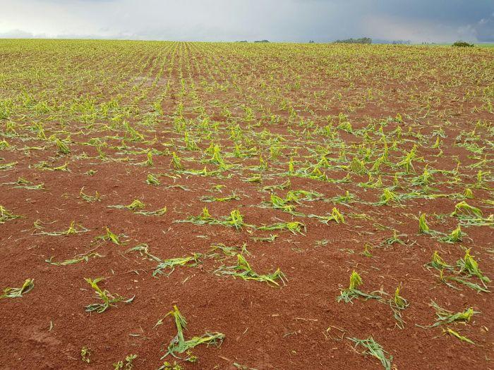 Chuvas castigam lavouras na região de Catuípe (RS). Envio de Frederico Olivi