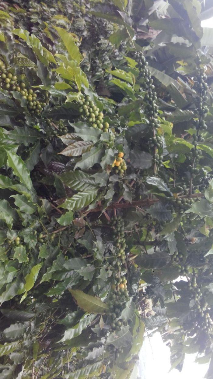 Imagem do Dia - Lavoura de café em Botelhos (MG), do produtor Giovane Carvalho Gonçalves, na Fazenda São Gabriel