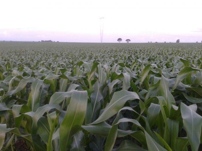 Imagem do Dia - Lavoura de milho em Sacramento (MG).  Fotos enviadas pelo produtor Edenildo Pereira