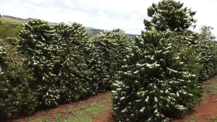 Florada do café em Araxá-MG dia 28/10