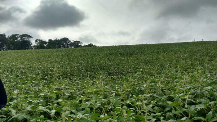 Imagem do Dia - Lavoura de soja em Pouso Alegre (MG), do produtor Ayrton Muraoka