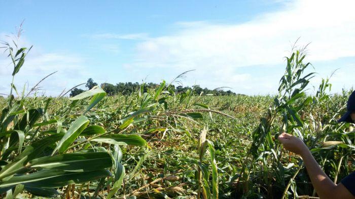Imagem do Dia - Lavoura de soja em Tapejara (RS). Envio de Vagner Tres
