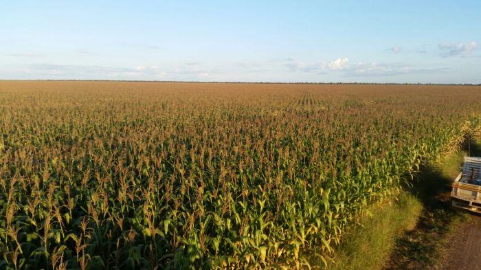 Imagem do Dia - Lavoura de milho em Uruçuí (PI), na Fazenda Santo Expedito, do produtor Lucas Laba Silva
