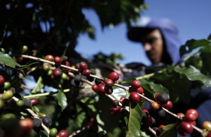 Trabalhador colhe café numa fazenda em Espírito Santo do Pinhal. 18/05/2012 REUTERS/Nacho Doce