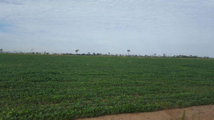 Lavoura de soja em Nova Andradina (MS), sem chuvas há 25 dias