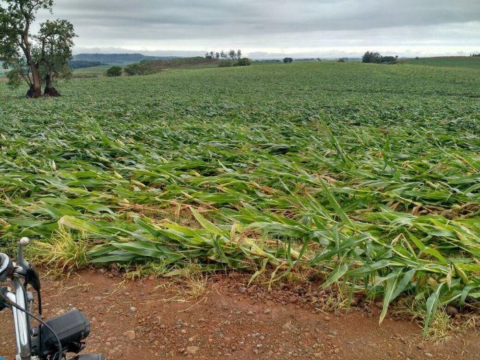 Imagem do Dia - Lavoura de milho após fortes ventos em Ourizona (PR), envio de Ildefonso Ausec