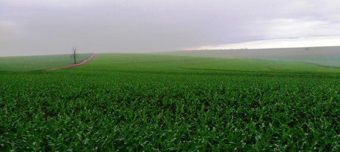 Imagens do dia - Lavouras de milho safrinha no Sítio da Esperança, em Itambé (PR). Envio do produtor Valdir Fries