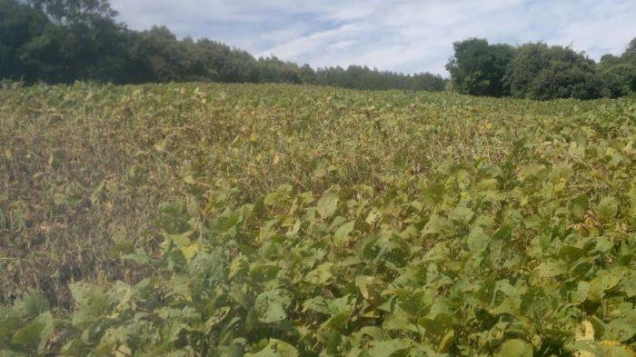 Imagem de ferrugem asiática nas lavouras de soja em Erechim (RS). Foto do produtor rural, André Zamadei.