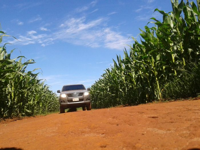 Imagem do Dia - Lavoura de milho em Santa Fé Del Paraná (PY), do produtor Pedro Luiz Bordignon. Envio de Roni Lopes.
