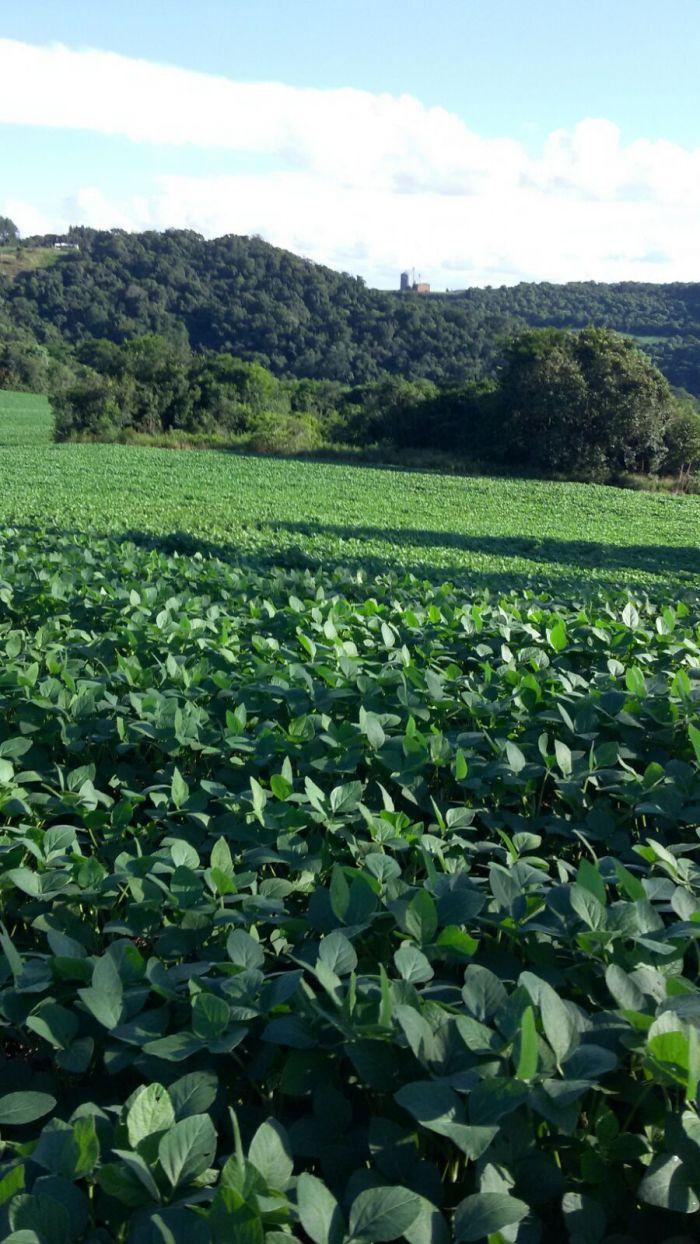 Imagem do dia - Lavoura de soja em Erval Velho (SC), do produtor Marcelo Conte Jr