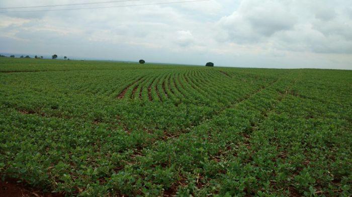 Lavouras de soja após 37 dias sem chuvas na região de Japurá (PR). Envio de Geraldo Bortolato