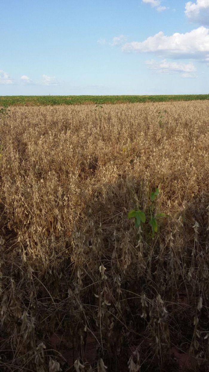 Com clima adverso, lavouras de soja morrem na região de Guaraí (TO). Envio de César Ribeiro