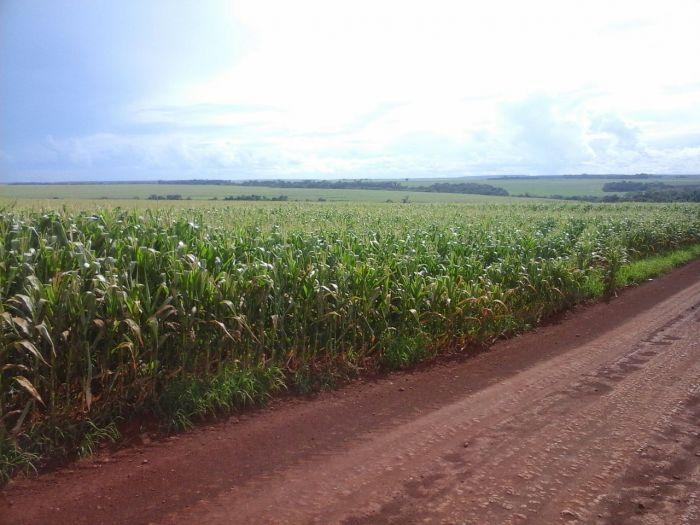Imagem do Dia - Lavoura de milho em Laguna Carapã (MS), envio de Antônio Rodrigues Neto