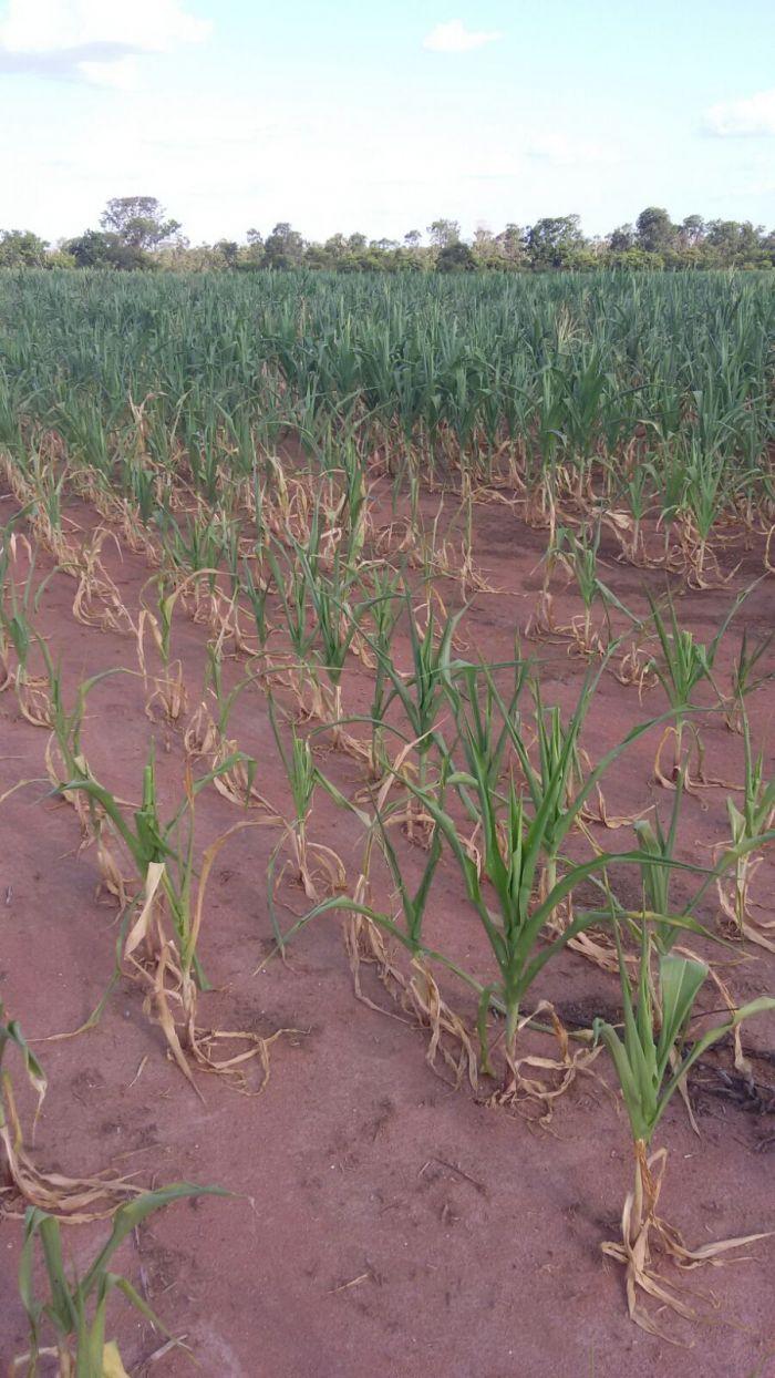 Clima adverso compromete desenvolvimento das lavouras de milho em Guaraí (TO). Envio de César Ribeiro