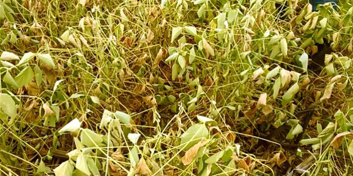 Soja seca em Sorriso/MT