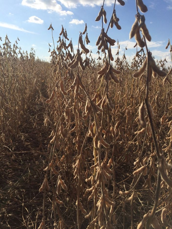 Colheita de Soja em Santa Amélia (PR), na Fazenda Taji do produtor rural Yasushi Taji 3