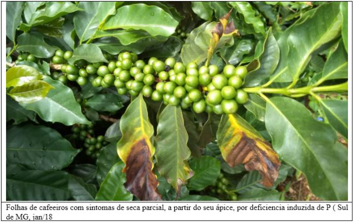 Procafé: Seca de folhas em cafeeiros por deficiência induzida de fósforo