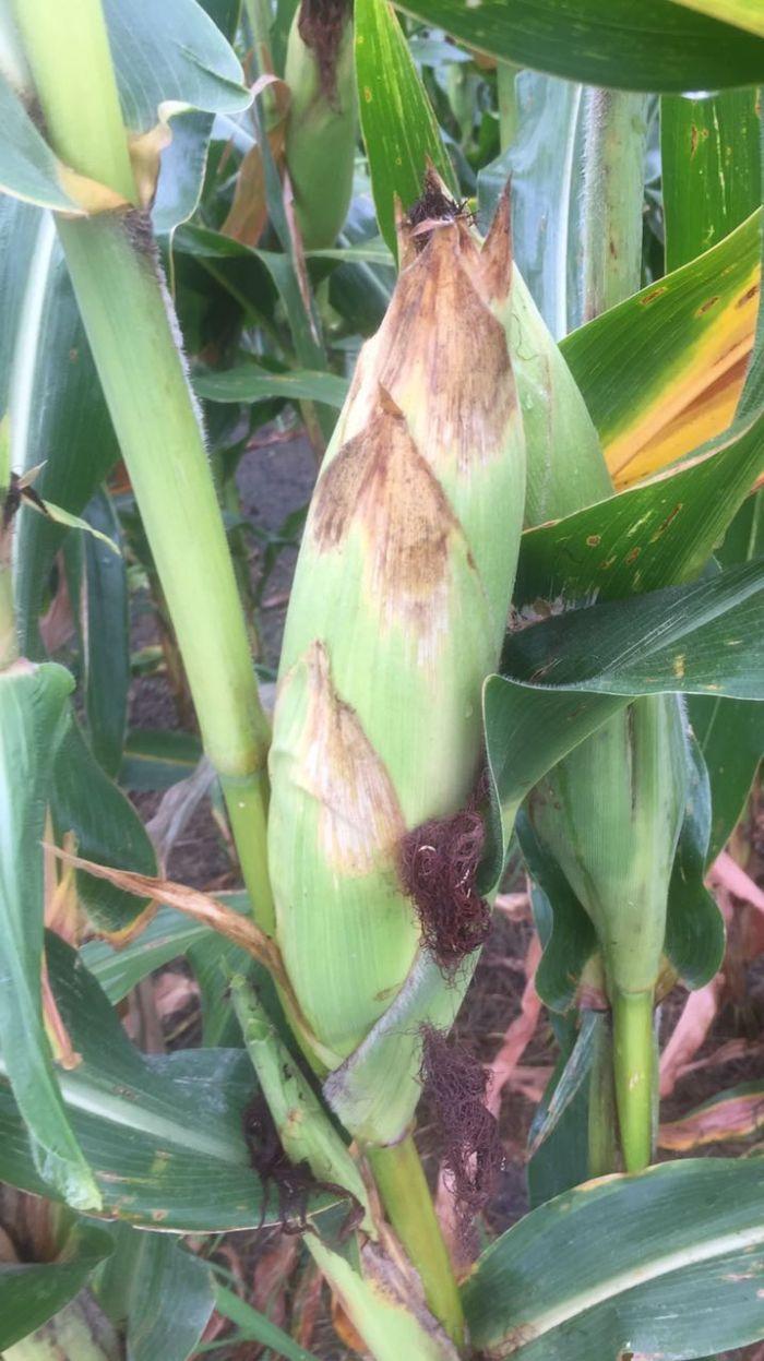 Lavoura de milho em Indiana, nos EUA. Gabriel Rodriguez Fintec Group