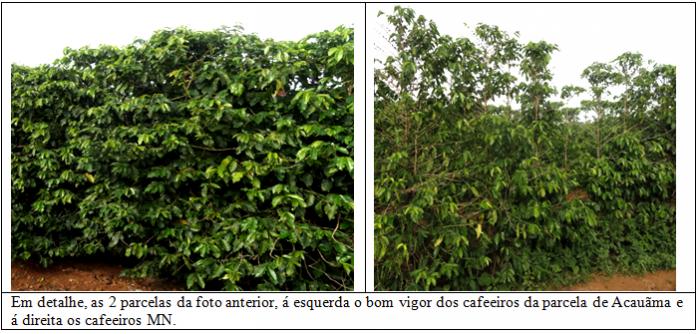 Procafé: Acauãma variedade de cafeeiros muito resistente e produtiva 002