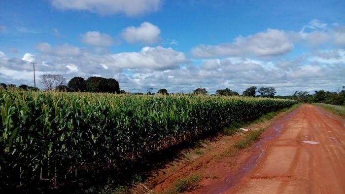 Imagem do dia - Lavoura de milho safrinha em Cerejeiras (RO). Envio de Mário Milani