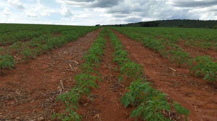 Imagem do Dia - Lavoura de tomate industrial em Ipameri (GO), envio de Gleidson Dutra