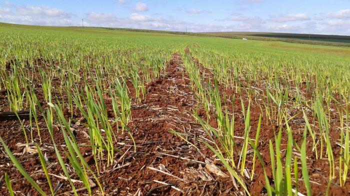 Imagens do dia - Área de trigo no município de Nova Aurora (PR). Envio do técnico agrícola David Clemente