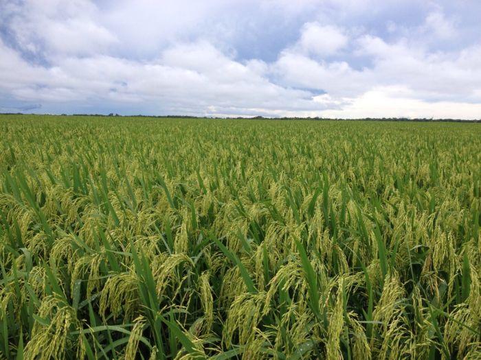 Imagem do Dia - Lavoura de arroz em Ribeirão Cascalheira (MT), com assistência técnica da Vale Produtos Agrícolas, envio de Leocyr