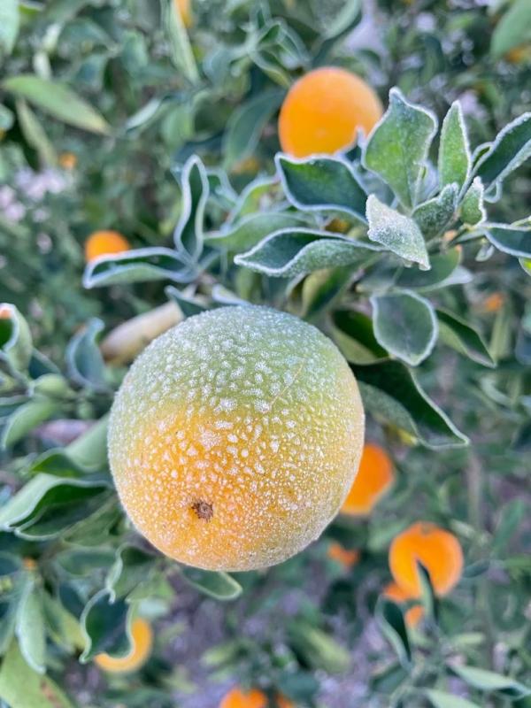 Geada lavoura de citros na região de AguaíSP - Envio de Antonio Simoneti (16)
