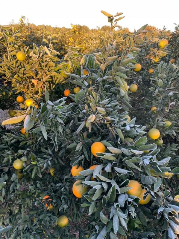 Geada lavoura de citros na região de AguaíSP - Envio de Antonio Simoneti (11)