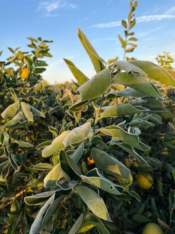 Geada lavoura de citros na região de AguaíSP - Envio de Antonio Simoneti (13)